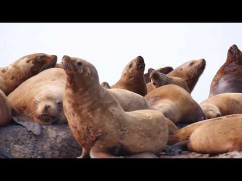 Steller sea lions in Nevelsk, Sakhalin, Russia