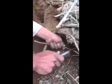 استخراج المسواك من شجرة الأراك