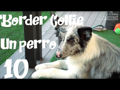 DOGS, The border collie a great breed
