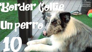 PERRO, Border Collie, un gran perro