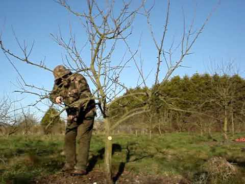 Pruning Apple Tree Convert Pyramid To Open Centre Youtube