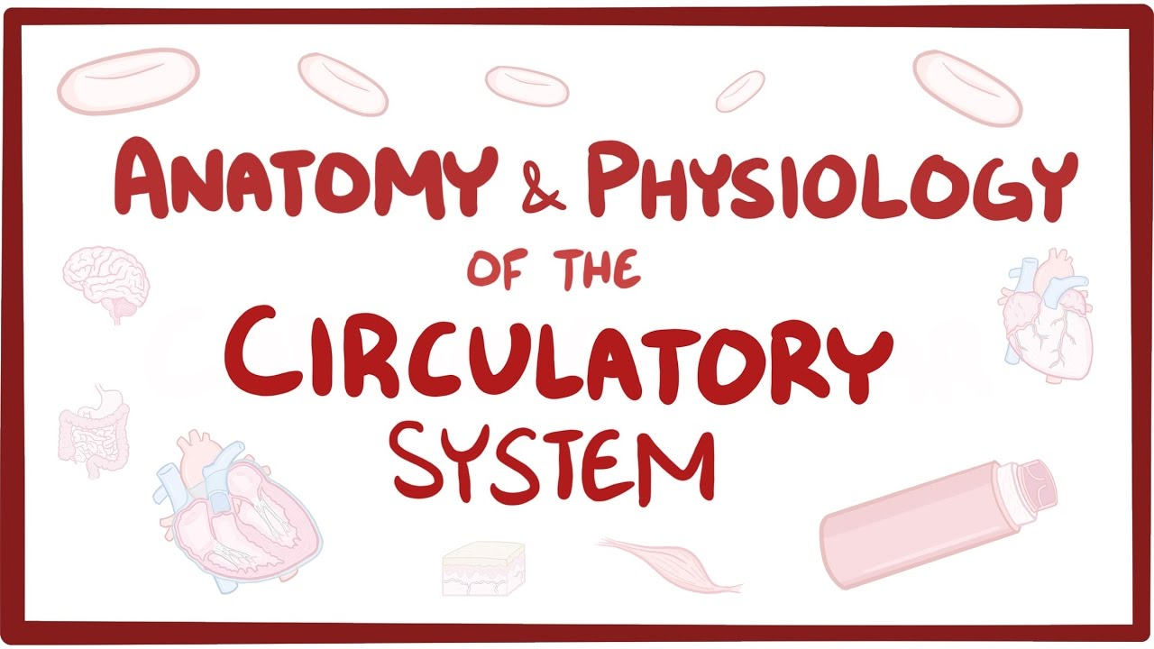 Anatomy & physiology of the circulatory system (heart) - YouTube
