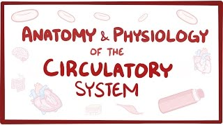 Anatomy & physiology of the circulatory system (heart)