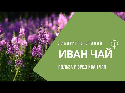 ПОЛЬЗА и ВРЕД ИВАН ЧАЯ (Копорский чай) - Лабиринты Знаний