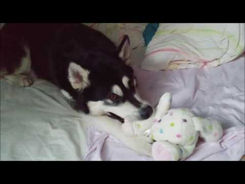 Alaskan Malamute playing and then soothing herself