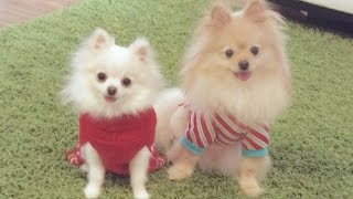 Christmas Puppy Vlog With Our Micro / Teacup Pomeranian
