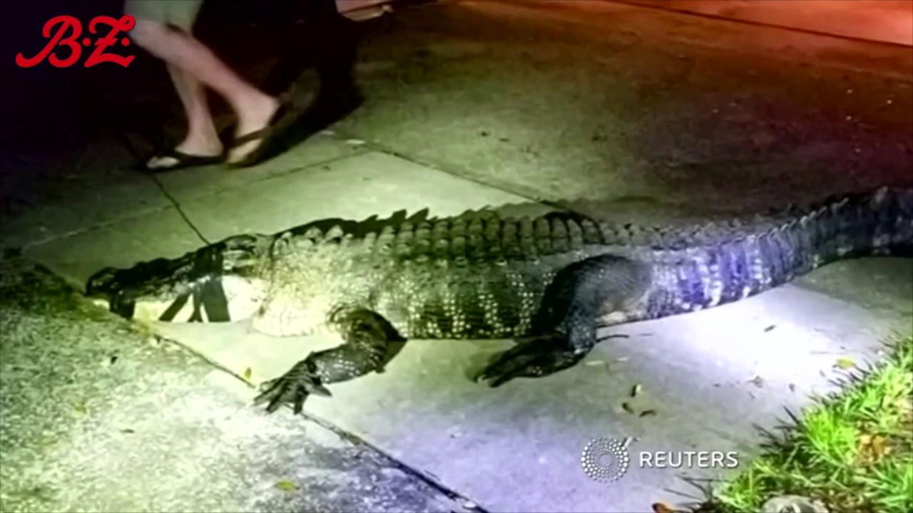 Ein Krokodil in der Küche