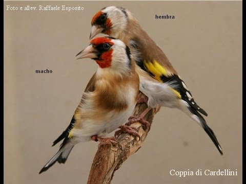 Goldfinch male or female
