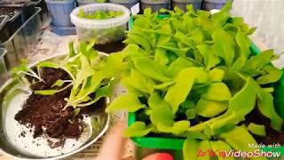 Как рассадить петунию и сформировать красивый куст. Как сформировать пышный куст лобелии(стрижка)