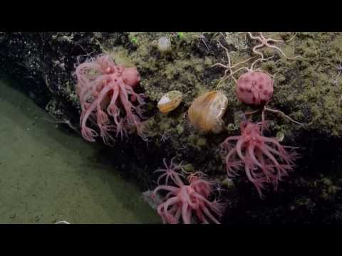 Diverse Sealife At The Channel Islands National Marine Sanctuary | Nautilus Live