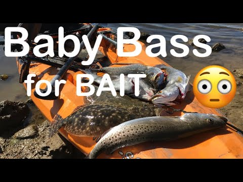 Using Baby Bass To Catch Big Saltwater Fish, Texas City Levee