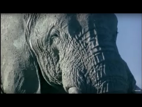 Elephant Mating, Fighting, And Pregnancy | Animals: The Inside Story | BBC Earth