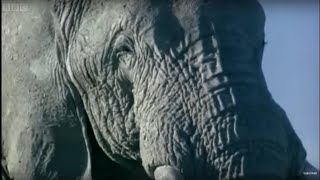 Elephant mating, fighting & pregnancy | Animals: The Inside Story | BBC