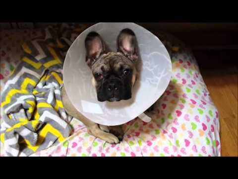 Bulldog After 2nd Cherry Eye Surgery Youtube