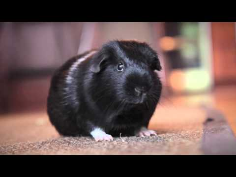 Are Guinea Pigs Good Pets? Here's What You Need to Know