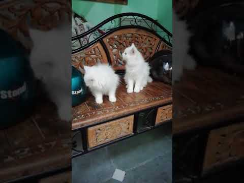 AK pet shop Persian cat 8512088672