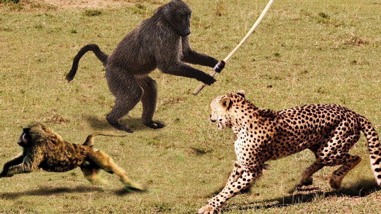 Power destruction of the KING LION Buffalo vs Lion Lion is ...