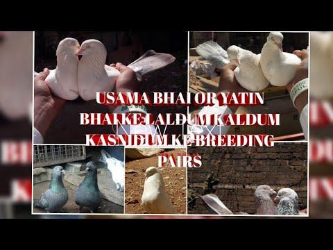 HIGH FLYER KABOOTAR LALDUMA KALDUMA KASNIDUM BEAUTIFUL BREEDING PAIRS USAMA BHAI OR YATIN BHAI KE