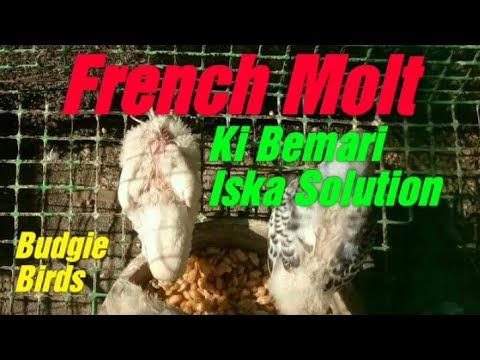 French Molt Diseases in  Australian Budgie Parrots in ( Urdu / Hindi )