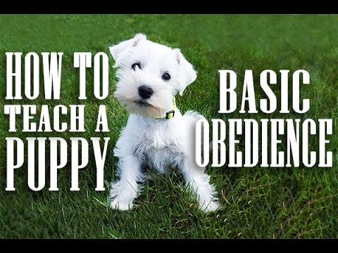 How to Teach a Puppy Basic Obedience - Sit, Down, and Stand