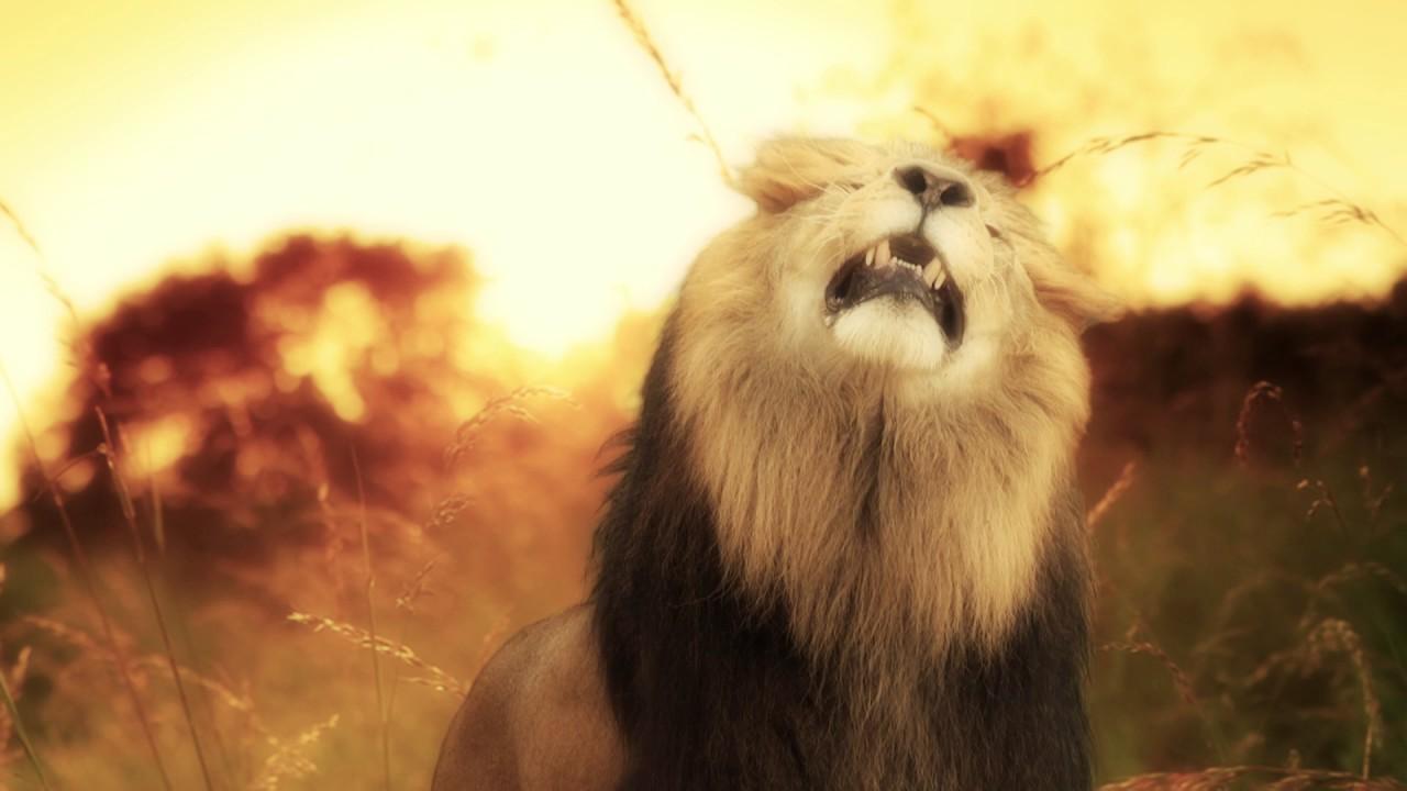 lion hd - youtube