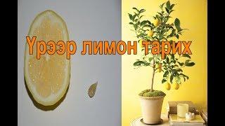 #suuder Лимон гэртээ тарьцгаая - Үрээр лимон тарих How To Grow And Planting Lemon Tree From Seed