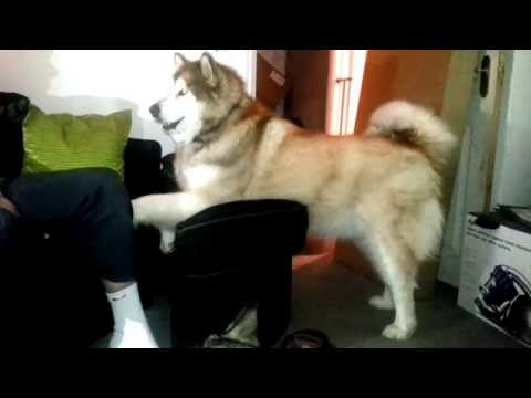 Alaskan Malamute wants a cuddle!