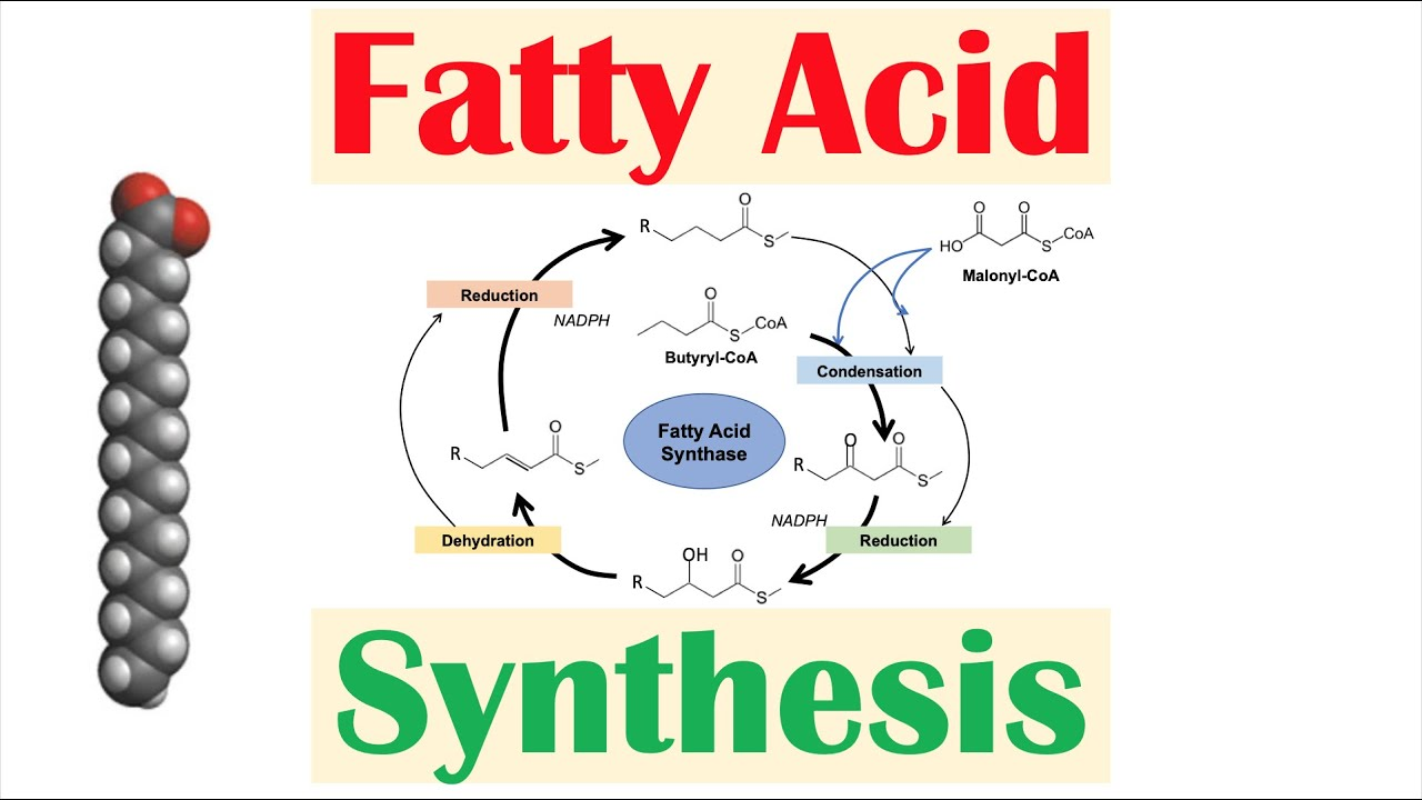 hight resolution of fatty acid synthesis pathway overview enzymes and regulation