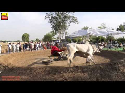 DHALIWAL (Jalandhar)   BULL HALTI RACES   ਬਲਦਾਂ ਦੀਆਂ ਹੱਲਟ ਦੌੜਾਂ - 2016    Full HD    Part 4th