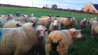 1匹咳をしている羊がいます。(ゴールウェイにて) 【アイルランド旅行】 ...