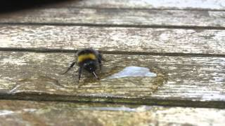 Giving a tired bee a sugary drink!