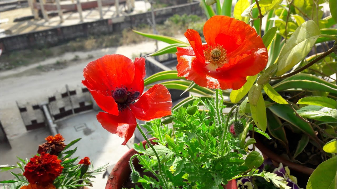 Care Of Poppy Plant Beautiful Winter Plant How To Grow And Care