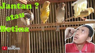 Ciri - ciri kenari paud jantan dan betina _ ADW BirdFarm