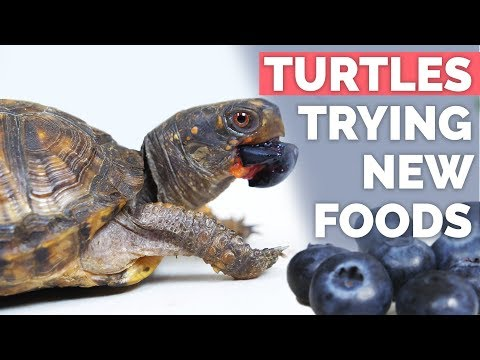 Box Turtles Everything You Need To Know Youtube