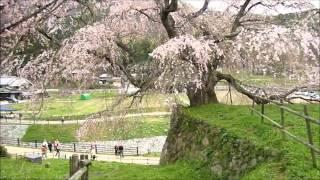 樹齢300年のしだれ桜、「又兵衛」を見に行きました.