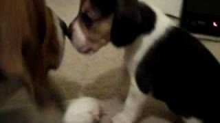 Female Beagle No.3 playing and kissing dad on the nose