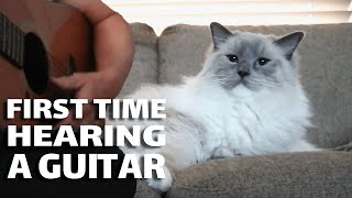 Ragdoll Cat Hears a Guitar for the First Time