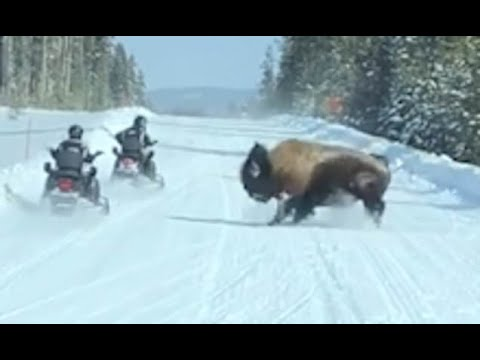 Yellowstone National Park tourists' snowmobiles have to speed away as 2,000lb BISON charges at them