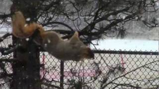 Big fat squirrel visits the bird feeder