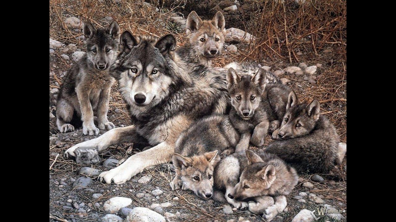Картинки по запросу Как волки меняют реки