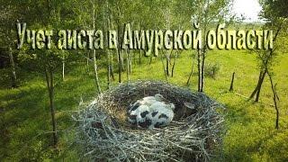 Учет аиста в Амурской области Oriental stork census