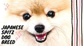 Japanese Spitz Dog Breed  Cute Japanese Spitz Puppies  Japanese Spitz Mix Breeds