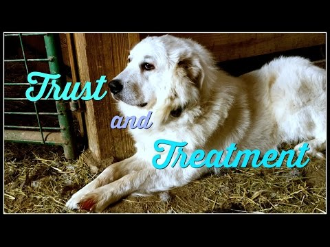 Trust & Treatment of an Injured Livestock Guardian Dog~