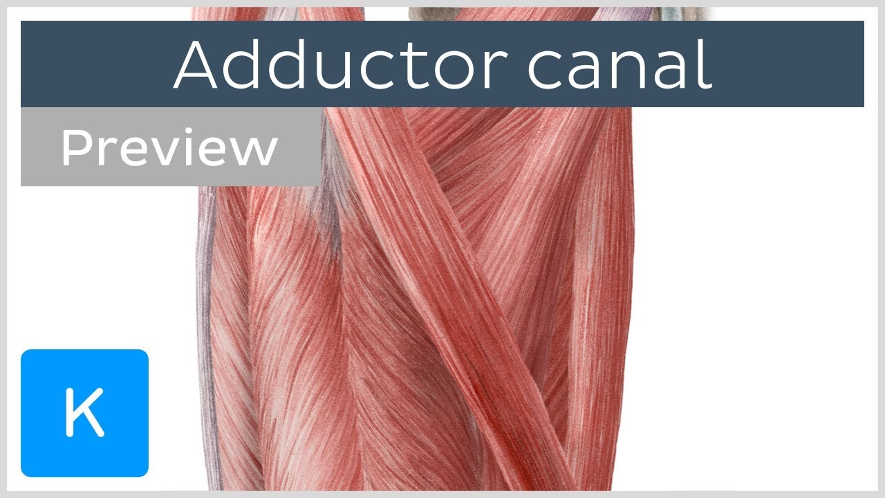 Adductor Canal (preview) - Location & Content - Human Anatomy ...
