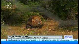 Ethiopian rare black lions struggling to survive due to loss of habitat