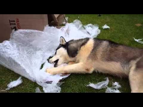 husky Snow - Fun with Bubble Wrap Part 2