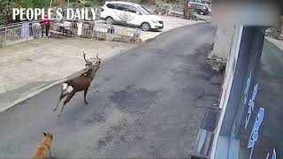 First time in 40 years, a wild sika deer was spotted in Huangshan, E China's Anhui.