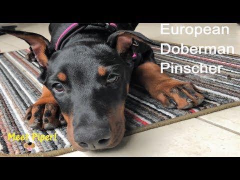 European Doberman Pinscher (Piper our 3 month old puppy )