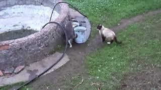 Сиамский кот и старая кошка, май 2014