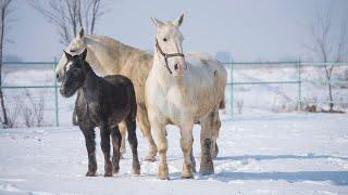 Под Бишкеком разводят огромных лошадей — весят больше тонны. Видео